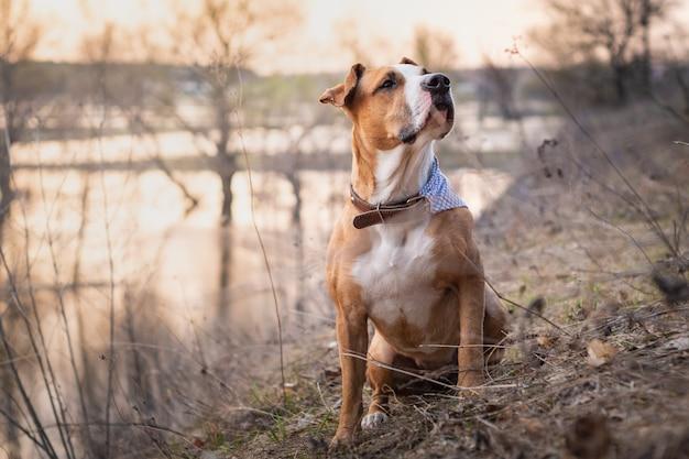 Porträt des pitbullterrierwelpen, der nahe fluss am morgengrauen sitzt