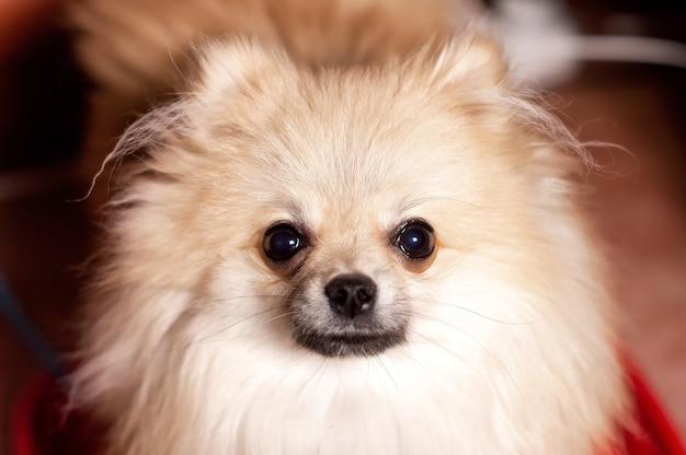 Porträt des pommerschen spitzhundes