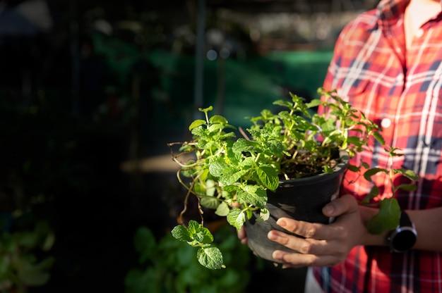 Porträt des positiven gärtners der jungen frau, der pfefferminzsämlinge im topf am gewächshaus hält