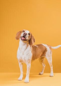 Porträt des reizenden hundes seine zunge heraus haftend