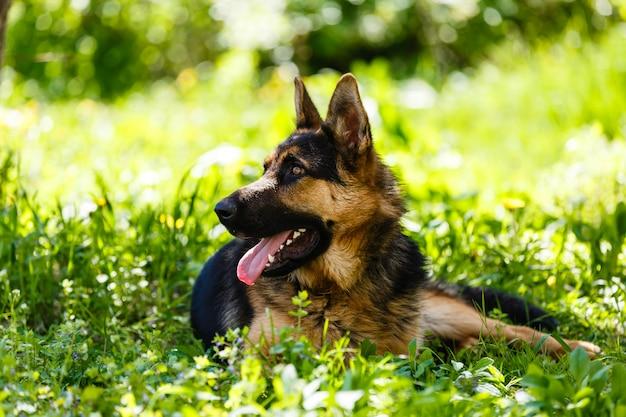 Porträt des schäferhunds legend auf das grüne gras