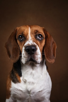 Porträt des schönen amerikanischen beagle-hundes