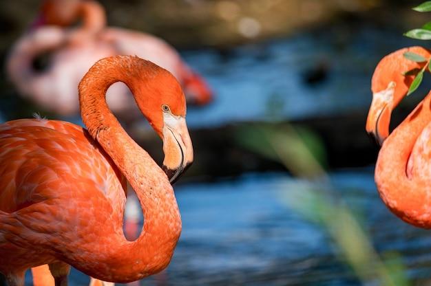 Porträt des schönen amerikanischen flamingos oder des phoenicopterus ruber nahe wasser
