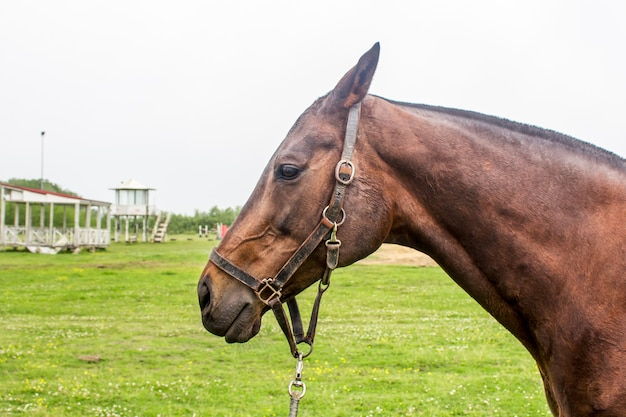Porträt des schönen pferdes mit seilhalfter