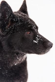 Porträt des schönen schwarzen hundes, der auf schneebedecktes feld im winterwald geht