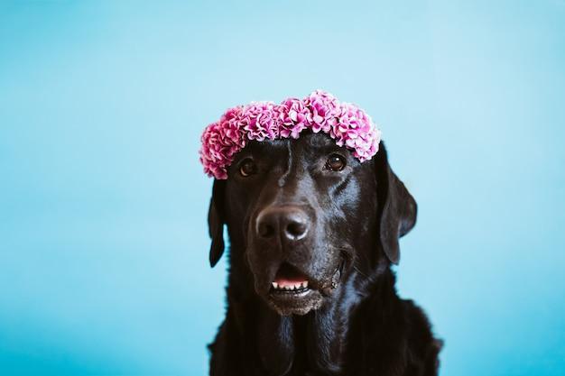 Porträt des schönen schwarzen labradorhundes, der eine krone der blumen über blauem hintergrund trägt