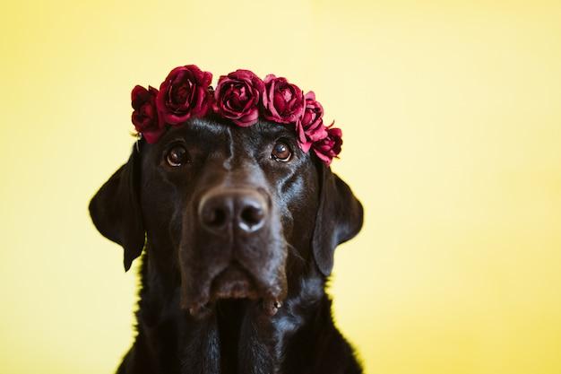 Porträt des schönen schwarzen labradorhundes, der eine krone der blumen über gelbem hintergrund trägt
