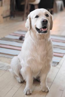 Porträt des schönen stammbaumhundes, der kamera betrachtet, die auf dem boden zu hause sitzt