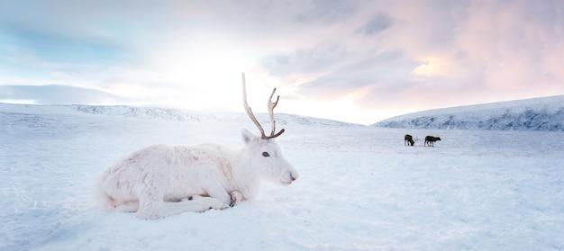 Porträt des schönen weißen winterhirsches, der auf schnee im feld bei sonnenaufgang liegt.
