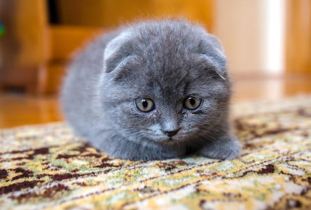 Porträt des schottischen katzenjungen im haus