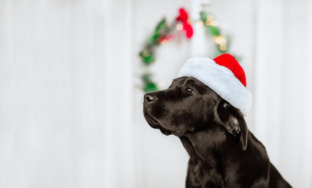 Porträt des schwarzen labrador-retrievers in der mütze des weihnachtsmanns gegen weißen hintergrund mit weihnachtskranz.