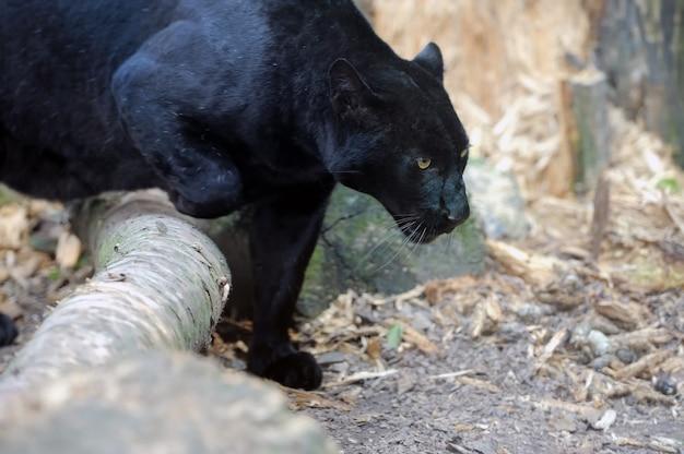 Porträt des schwarzen leoparden an der frischen luft