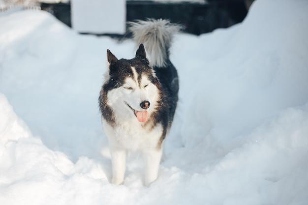 Porträt des sibirischen husky mit braunen augen im winter
