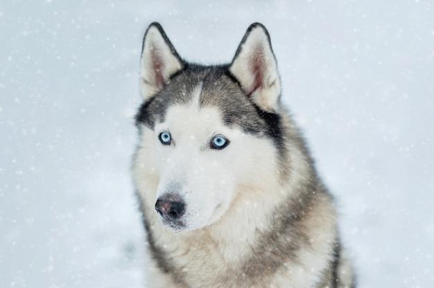 Porträt des sibirischen huskys auf hintergrundwald.