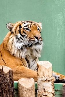 Porträt des sibirischen tigers