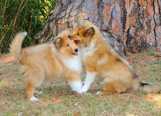Porträt des spielens mit zwei raues colliehunden