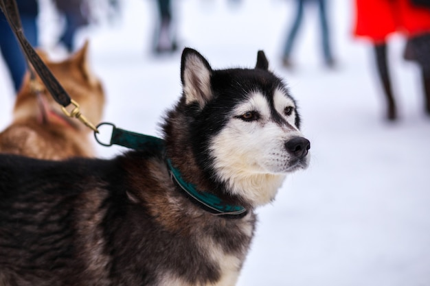 Porträt des sport-schlitten-husky-hundes. working mushing dogs des nordens.