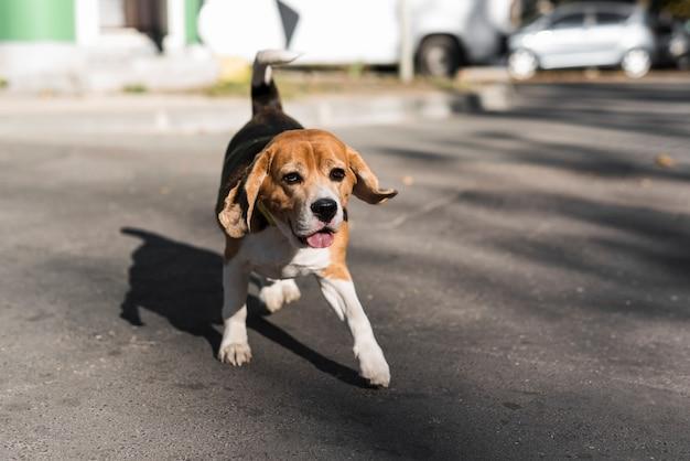 Porträt des spürhunds laufend auf straße
