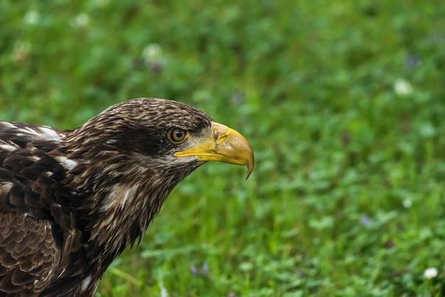 Porträt des steinadlers in seiner natürlichen umwelt