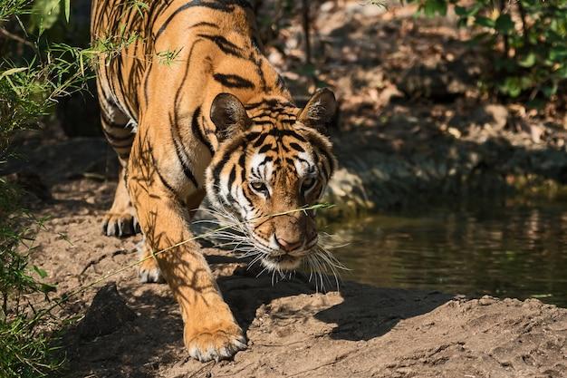Porträt des tigers.