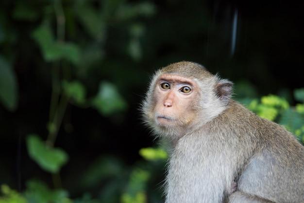 Porträt des traurigen affen auf dunkelgrünem hintergrund des waldes in thailand. makaken mit braunem fell, das im wald sitzt. hoffnungsloser und verzweifelter affe. einsamer affe.