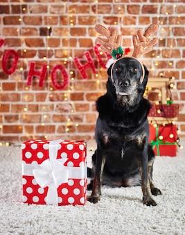 Porträt des traurigen hundes mit rentiergeweih und weihnachtsgeschenk