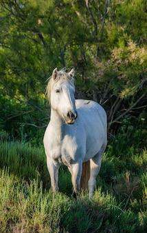 Porträt des weißen camargue-pferdes