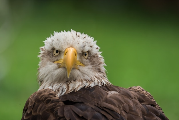Porträt des weißkopfseeadlers