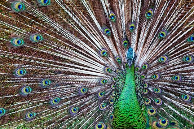 Porträt des wilden männlichen pfaus mit dem gefächerten bunten zug. grüner asiatischer pfau zeigt schwanz mit blau und gold schillernder feder. natürliches augenflecken-gefiedermuster, exotischer tropischer vogelhintergrund.