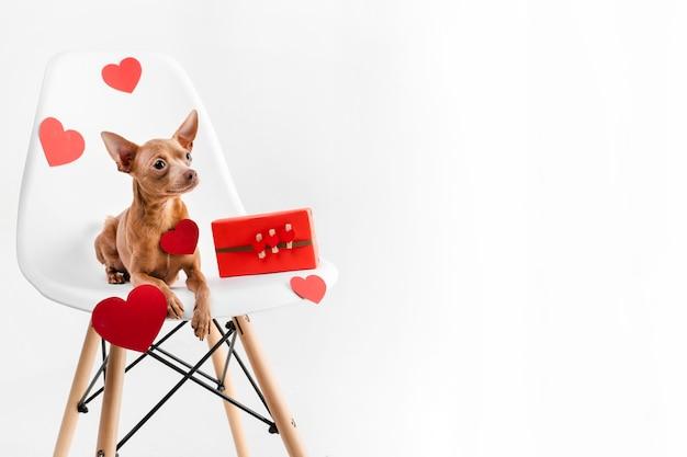 Porträt des winzigen chihuahua-hundes, der auf einem stuhl sitzt