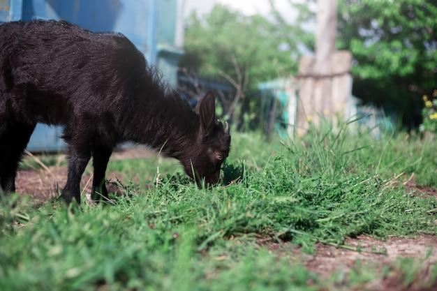 Porträt durch pflanzen der schwarzen babyziege, die grünes gras im freien weiden lässt.