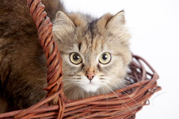 Porträt einer entzückenden gelbbraunen katze in einem weidenkorb (nahes hohes bild)