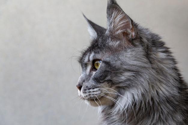Porträt einer entzückenden maine coon katze. tierpflege