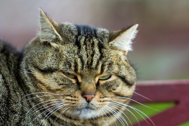 Porträt einer fetten gestreiften katze mit grünen augen