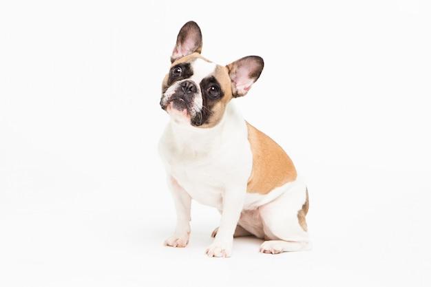Porträt einer französischen bulldogge auf einem weiß. fröhlicher kleiner hund mit einem lustigen gesicht sitzen