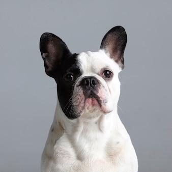 Porträt einer französischen schwarzweiss-bulldogge