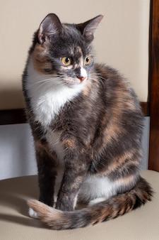 Porträt einer gefleckten katze, die auf einem stuhl sitzt, ein dreifarbiges streunendes kätzchen drinnen. flauschiges haustier mit grauem und weißem fell.