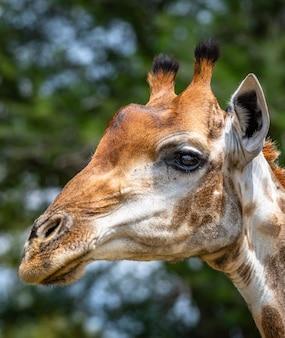 Porträt einer giraffe, umgeben von grün auf einem feld unter dem sonnenlicht