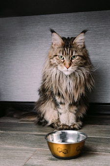 Porträt einer großen flaumigen maine coon-katze, die auf dem boden nahe einer schüssel sitzt