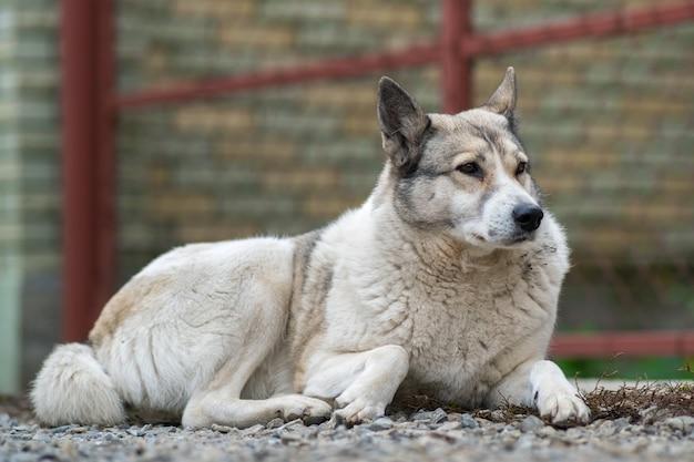 Porträt einer hunderasse westsibirier laika, das draußen in einem yard sitzt.