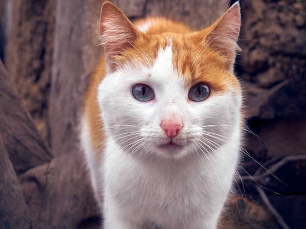 Porträt einer ingwer-katzen-nahaufnahme.