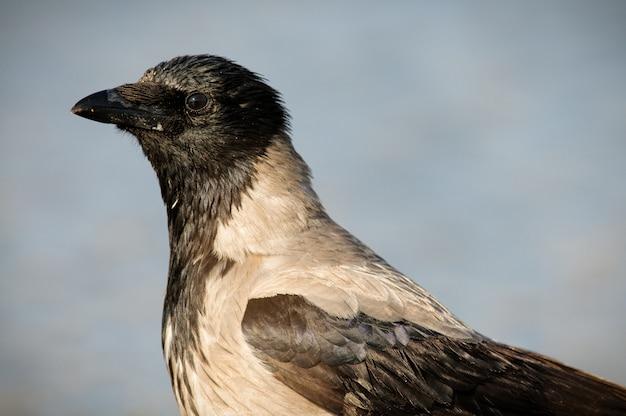 Porträt einer kapuzenkrähe (corvus cornix). nahansicht.