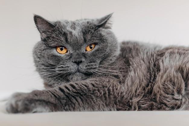 Porträt einer katze der britischen kurzhaarrasse, die auf bett liegt.