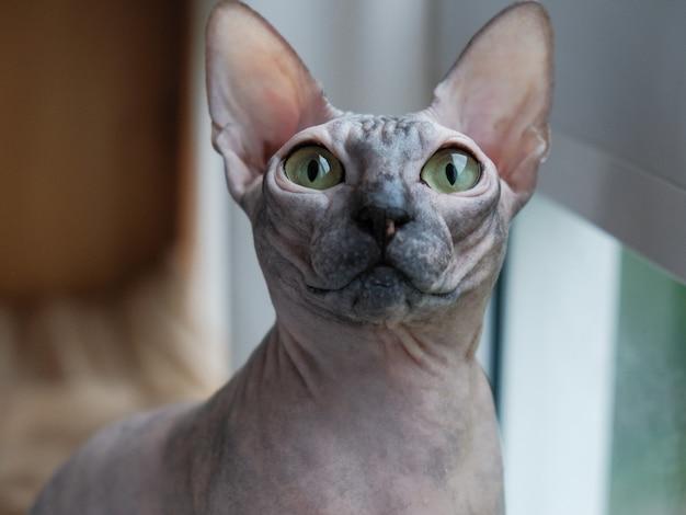 Porträt einer katze einer sphinxes schaut im auge