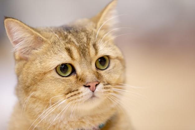 Porträt einer katze scottish straight, nahaufnahme