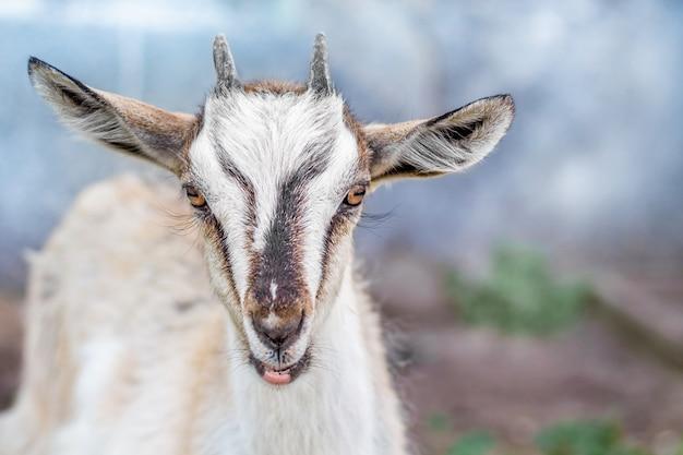 Porträt einer kleinen ziege in den farmen auf einer unscharfen hintergrundnahaufnahme