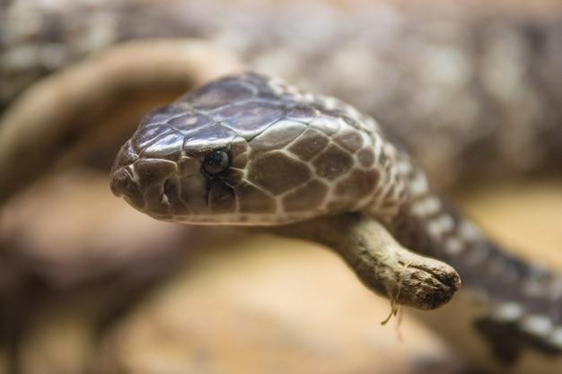 Porträt einer kobra schlange