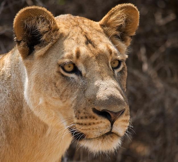 Porträt einer löwin