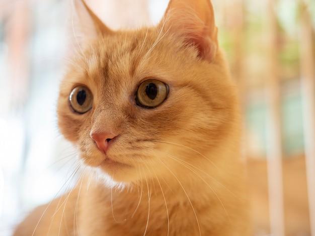 Porträt einer lustigen süßen roten katze. nahaufnahme, selektiver fokus, verschwommener hintergrund. haustiere