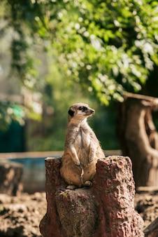 Porträt einer meercat im zoo.